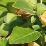 31 Amazing Benefits of Miracle Herb Ashwagandha