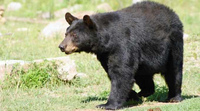 bear spirit guide