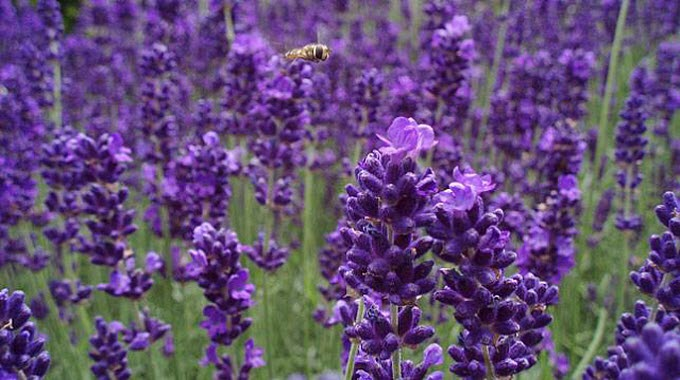 Lavender is among the plants that act as natural insect repellents. (Photo: Limbo Poet/flickr)
