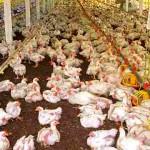 Healthy Chickens Are Being Killed With Foam to Avoid Bird Flu