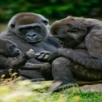 Apes May Be Capable Of Speech, New Study Suggests