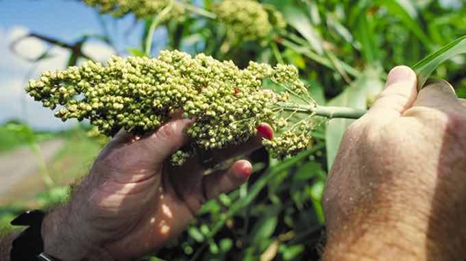 sorghum plant