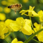 Harvard Finds Pesticide in 70% of Honey Samples Tested