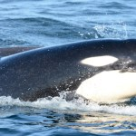 Endangered Orca Whale  Birth –  7th Baby Orca Calf of 2015