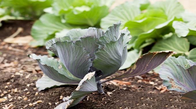 Cabbage in home garden-compressed