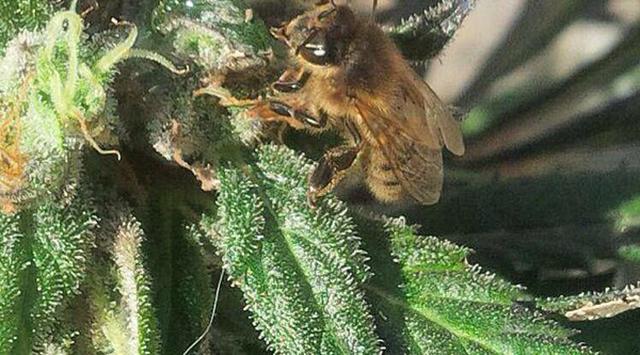 bees marijuana