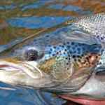 Will Environmental Devastation Occur When Genetically Engineered Salmon Escape Into the Wild?