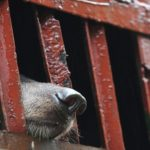This Country Just Vowed To Close Horrific Bear Farms And Send Bears to Sanctuaries