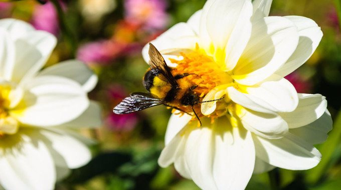 bumble-bee-on-pollen-of-white-chrysanthemum-flower-compressed