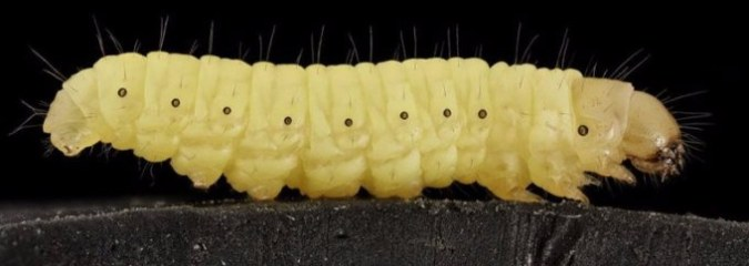 Plastic-Eating Caterpillar Could Help Solve The Globe Waste Crisis