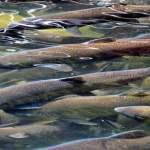 Farmed Salmon Industry Causing Global Sea Lice Crisis
