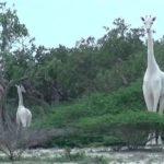 Enchanting Snowy White Giraffes Filmed In Kenya [Video]