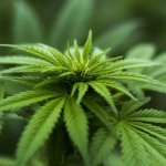 Researchers Develop Faster Test For Cannabis Potency and Quality