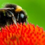 """""""It's About Time"""": Canada Celebrated for Banning Bee-Killing Neonics While US Backslides"""