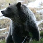Stay of Execution for Yellowstone Grizzly Bears as Court Rules Trump Admin Illegally Gutted Protections