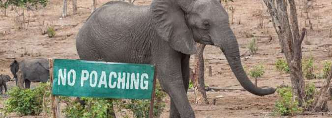 Elephant Poaching Declines In Africa, but 15,000 Still Illegally Killed Each Year