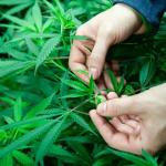 Cannabis Provides Strong Pain Relief