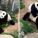 With Zoo Closed Due to Coronavirus, Pandas Finally Bang for the First Time in 10 Years