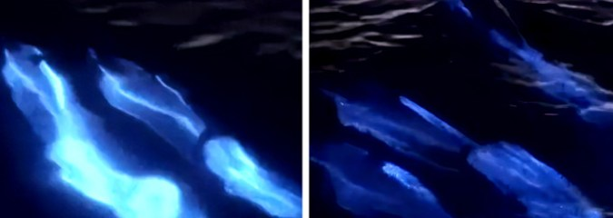 Watch the Magical Moment a Pod of Dolphins Glide Through Electric Blue Bioluminescent Waves