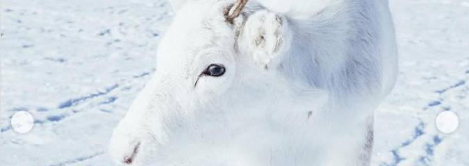 While Hiking in Norway, Photographer Captures Extremely Rare White Baby Reindeer