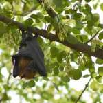 For Vampire Bats Social Distancing While Sick Comes Naturally