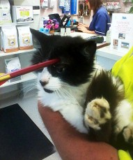 291013 Supplied / HUTT NEWS Shot: Wainuiomata cat Moo Moo is recovering well after emergency surgery to remove a crossbow bolt from his head.