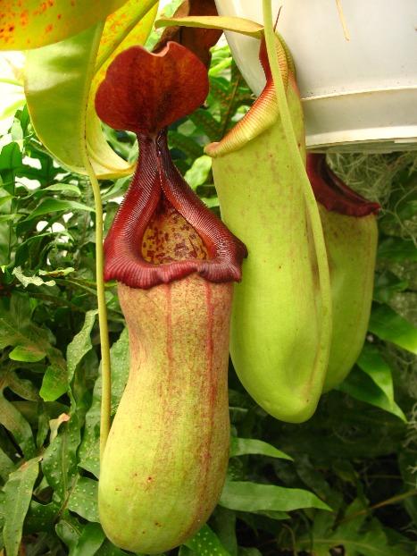Asian Pitcher Plant