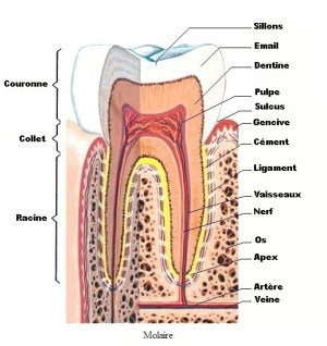Anatomie dent1b