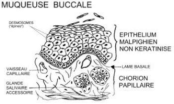 coupe histologique de la muqueuse buccale (db-gersite.com)