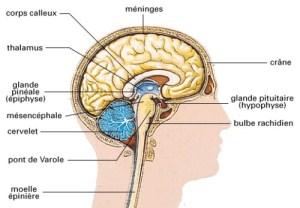 Le système nerveux central.