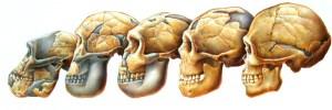 Évolution du crâne du singe vers l'homme: les maxillaires se racourcissent (transhumanistes.com)
