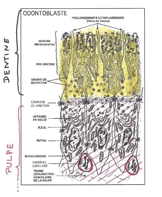 Zone de production de la dentine par les odontoplaste dans la pulpe (gersite.com).