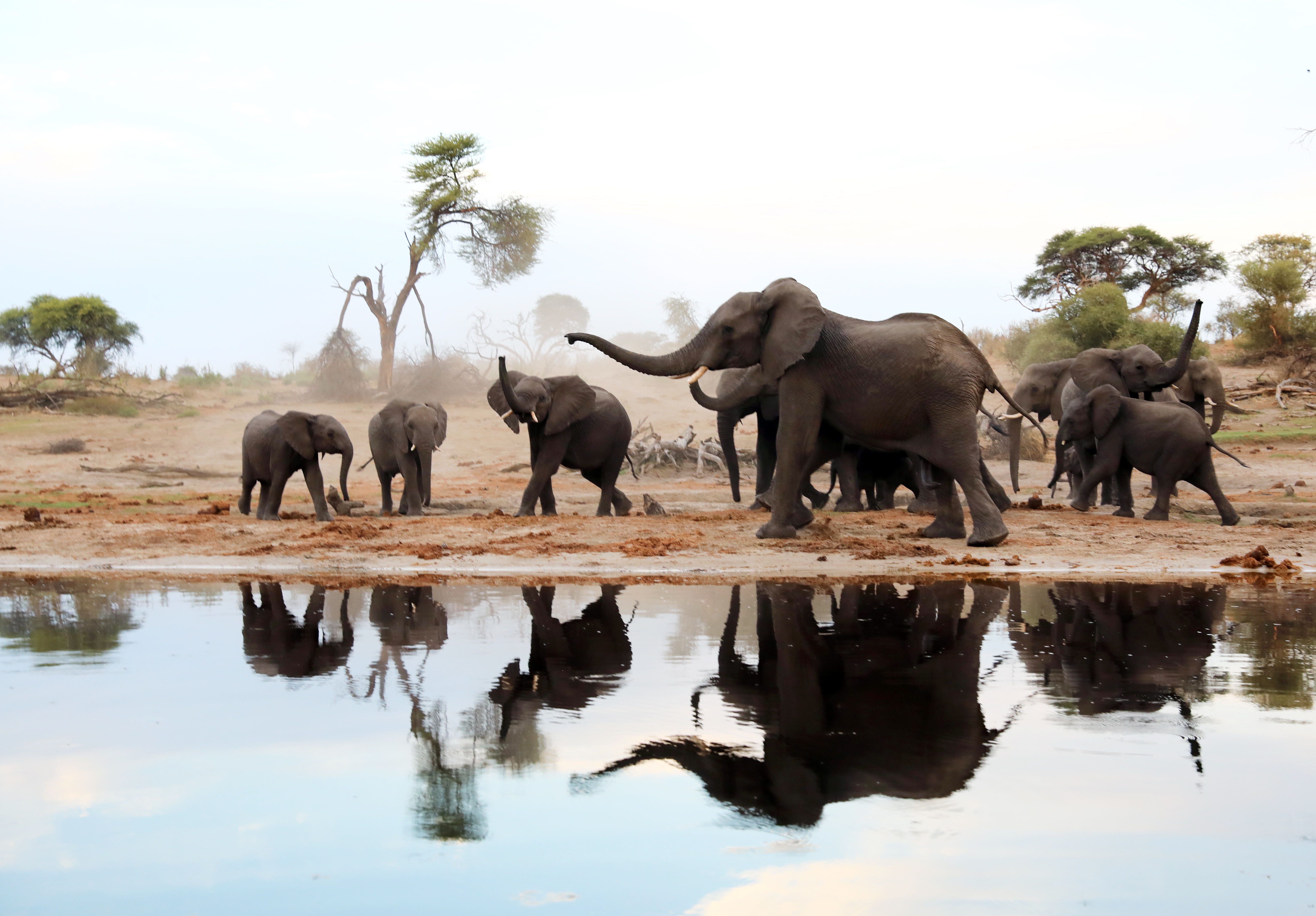 african elephant food chain diagram 2003 ford f150 starter wiring cat the effects of trophy hunting on five africa s iconic wild free stock library