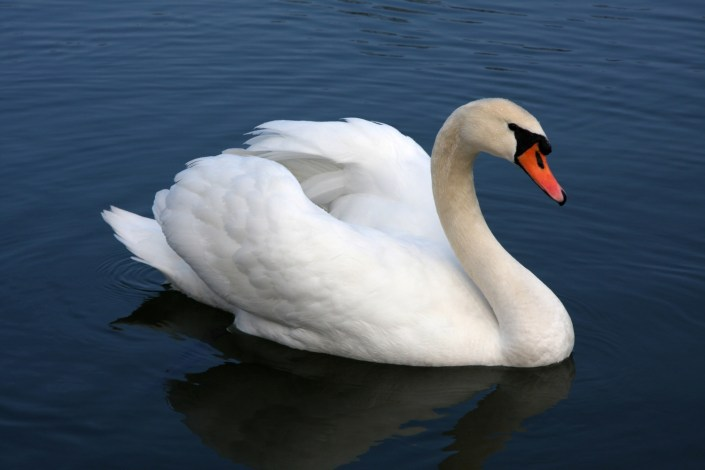 Side view of mute swan in water