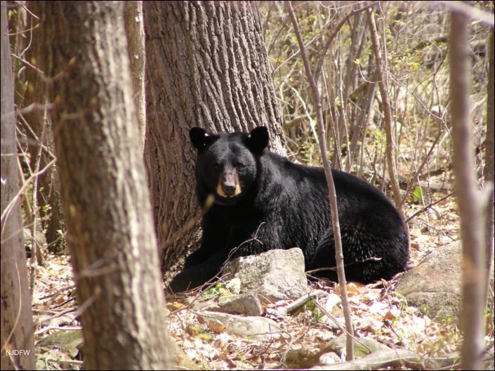 Picute of a one black bear next to a tree in the woods