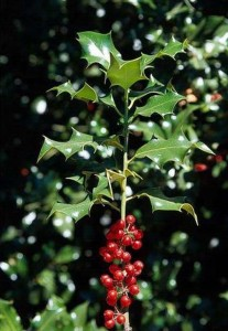 Holly grows from 15 - 20 feet and taller.