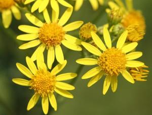 Tansy ragwort flowers
