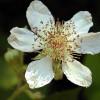 800px-Rubus_discolor_blossom