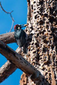 """Acorn Woodpecker with """"granary"""" (Photo: Johnath)"""
