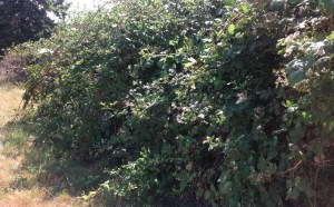 Unmanaged blackberry forms a dense, thorny thicket.