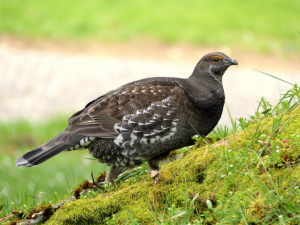 Sooty Grouse Photo by Cathy Burk