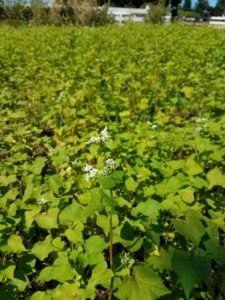 Buckwheat is a good choice for a summer cover crop.