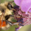 Bumble bee on lavender - Jason Faucera feature image