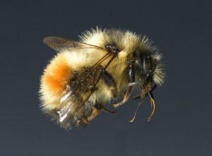 Bumblebee (Photo: Oregon State University)