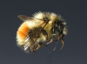 Bumblebee (Photo: Oregon State University)