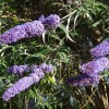Butterfly bush in flower