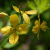 Greater Celandine, Chelidonium majus