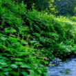 Japanese knotweed Deep Creek CRBC feature