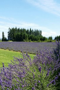 12th Annual Clackamas County Lavender Festival @ Oregon Lavender Farm | Oregon City | Oregon | United States