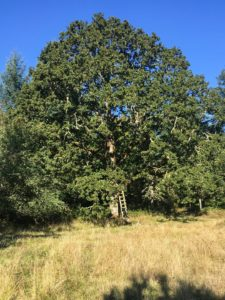 Oak and grass understory